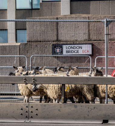 Sheep Drive